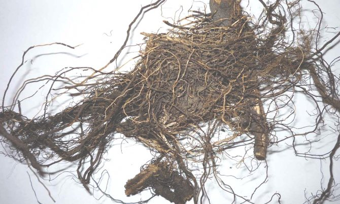 Маралий корень (левзея)