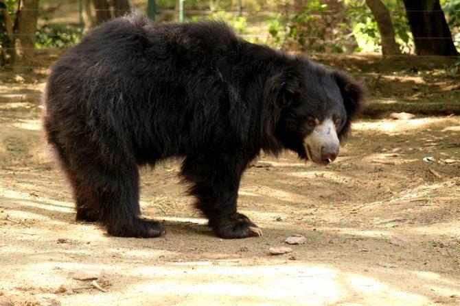 Медведь-губач с лохматой шерстью