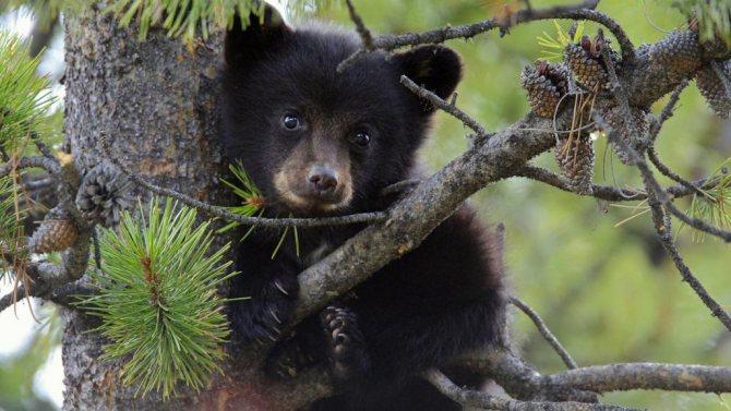 Медвежата долго растут