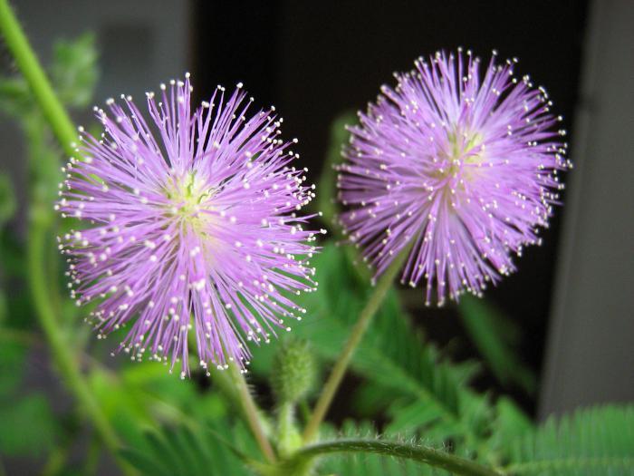 мимоза цветок где растет