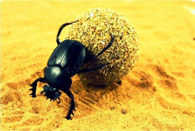 Мистические жуки-скарабеи — египетский символ возрождения, фото № 2