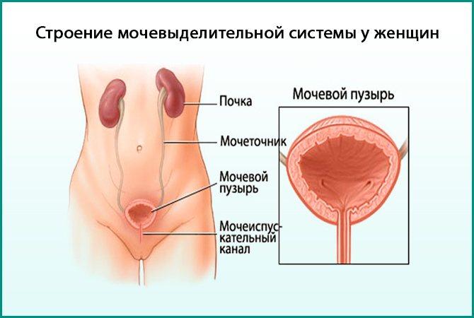Мочевая система женщины