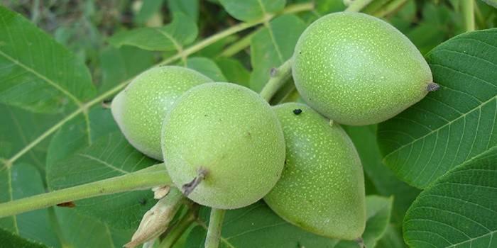Молодые орехи, из кожуры которых готовится краска для волос