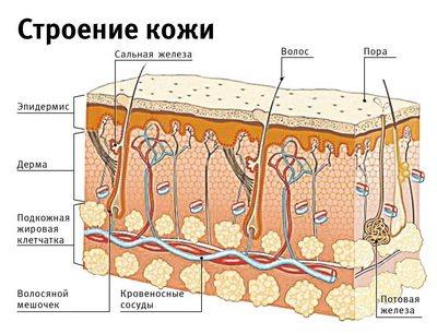 На этом изображении - развернутое строение кожи и волос