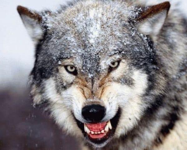 напали волки сонник