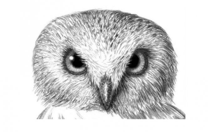 нарисованная карандашом голова совы