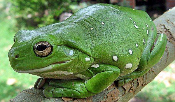 Огромная жаба во сне женщине
