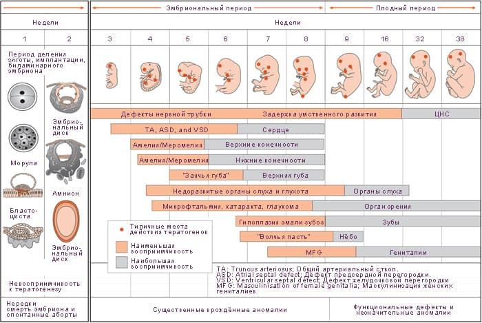 Опасные периоды беременности