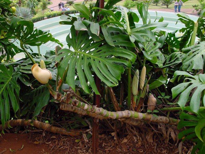 Описание растения-лианы в естественных условиях произрастания
