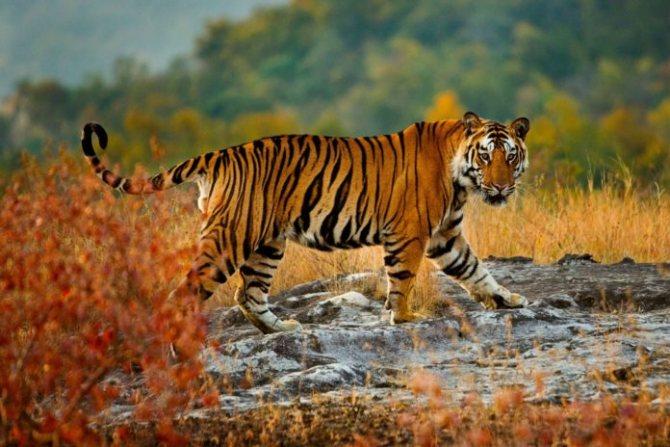 Описание тигра