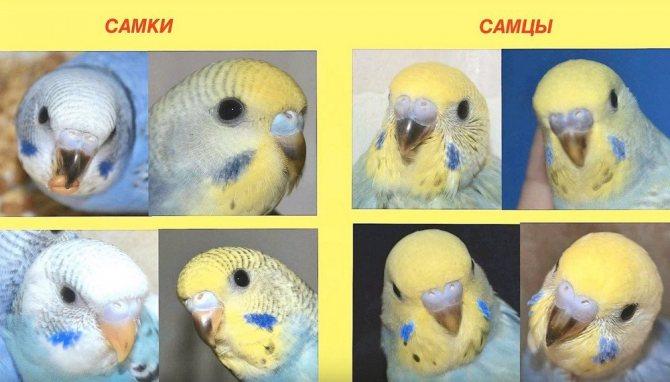Определение пола волнистых попугаев по цвету восковицы