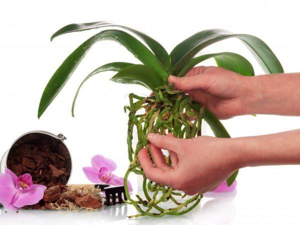 Орхидею, которая отцвела, пересаживают в новый горшок