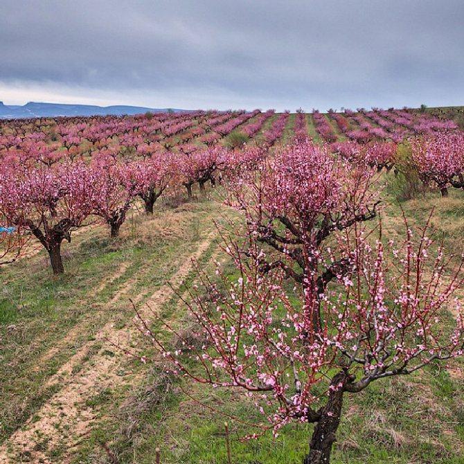 персиковые сады