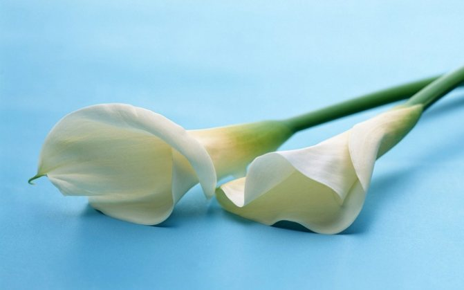 Почему каллы цветок смерти