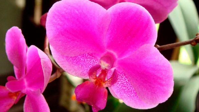 почему не цветет орхидея что делать