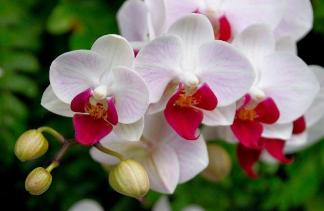 Почему орхидея быстро отцветает