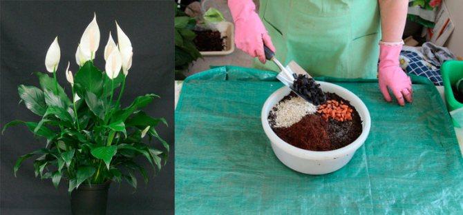 Почва для спатифиллума