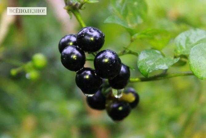 Польза и вред черного паслена для здоровья