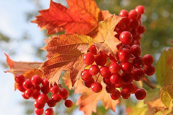 польза плодов калины