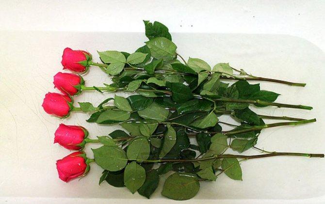 Поместите розы в ванну с водой, чтобы обеспечить дольшее хранение