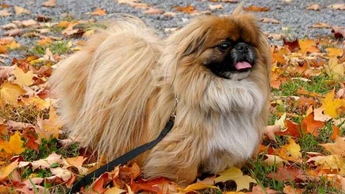 порода собак пекинес фото
