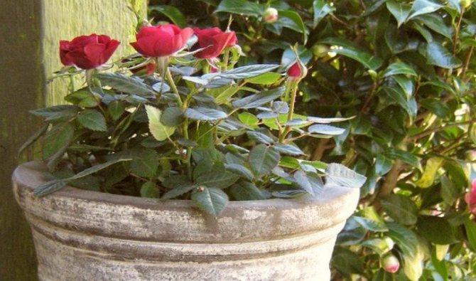 Посадка цветов в горшок