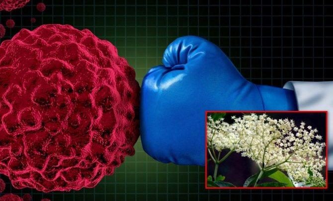 Применение цветов бузины при онкологии