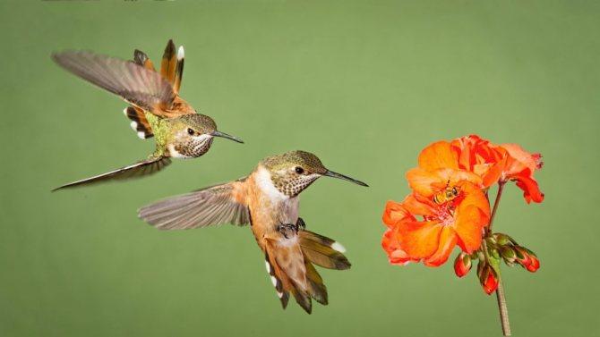 птичка колибри значение