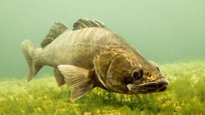 Речная рыба без костей