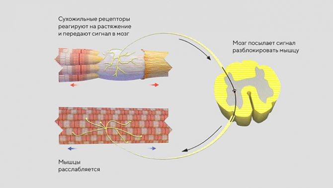 Рефлекторная дуга спинного мозга 2