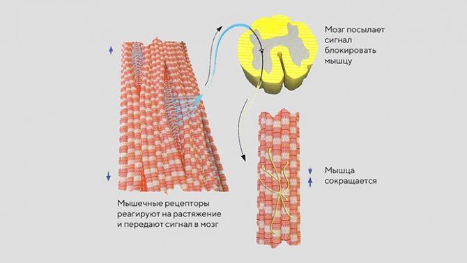 Рефлекторная дуга спинного мозга