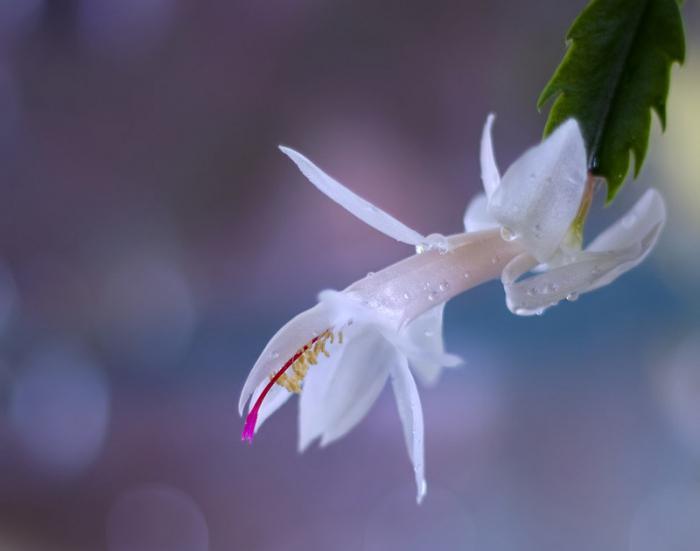 родина декабриста цветка