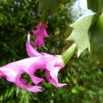 Родина декабриста, комнатного растения, которое было у всех