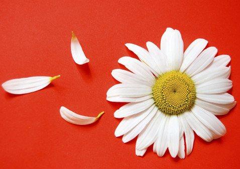 Ромашка против простуды — эффективное средство, которое помогает очистить дыхательные пути и быстро вывести из организма токсины.