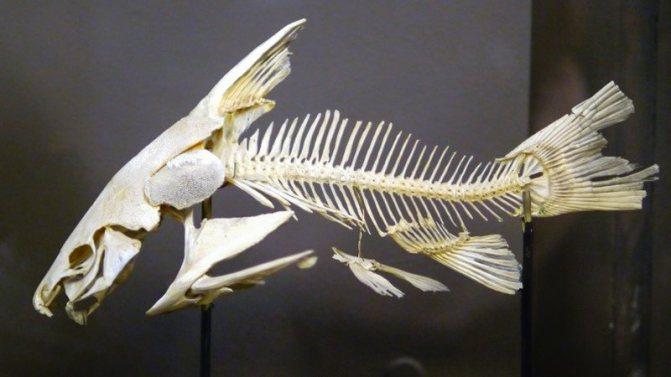 Рыба без костей и костлявая рыба