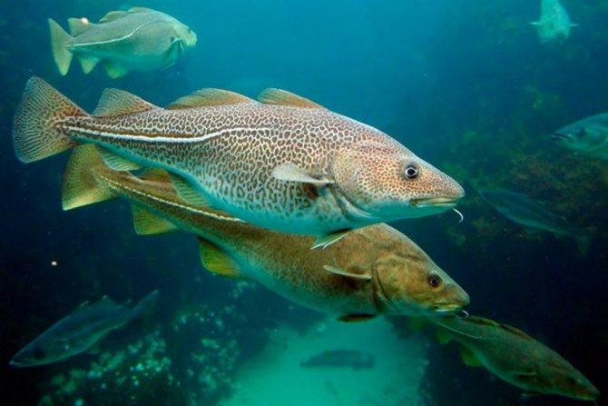 Рыбы семейства тресковых