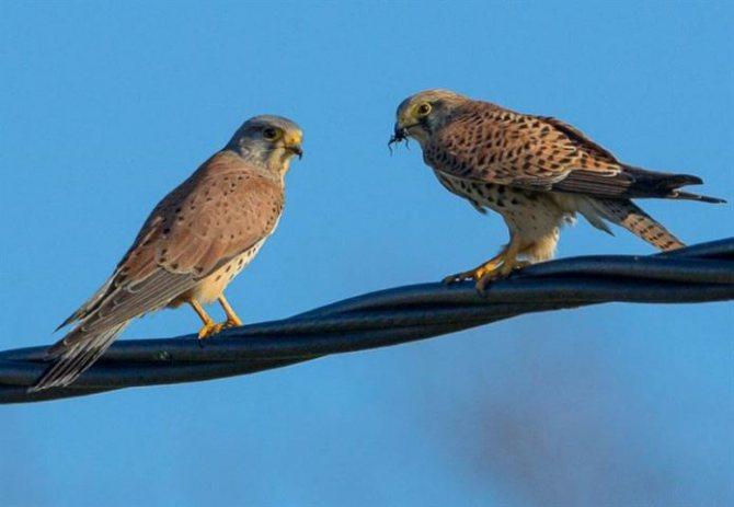 Самка и самец сокола
