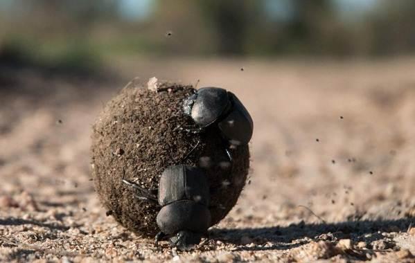 Скарабей-жук-насекомое-Описание-особенности-образ-жизни-и-среда-обитания-скарабея-3
