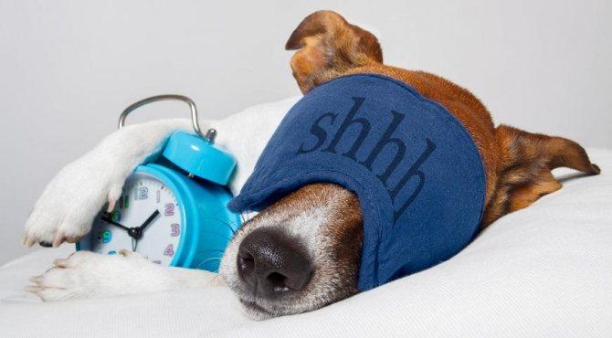 собака в маске для сна с будильником