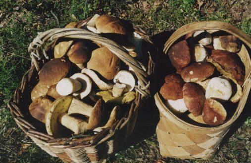 собранные грибы