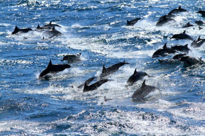 Сонник много дельфинов