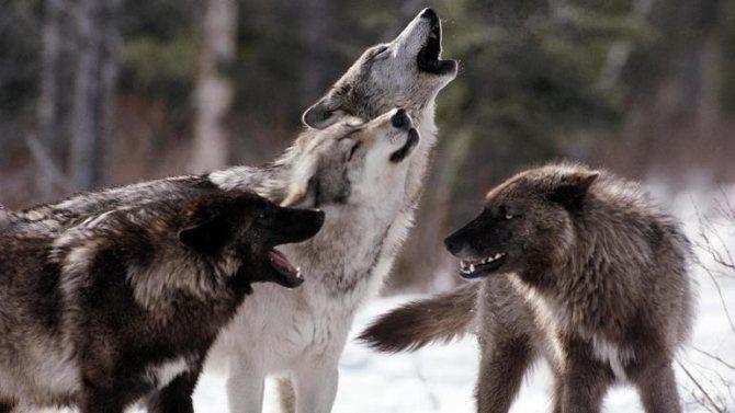 Сонник стая волков
