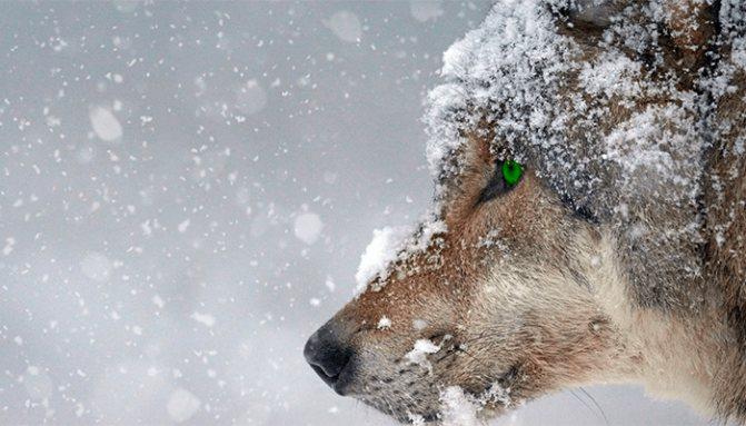 Сонник — волк: к чему снится во сне черный, белый, серый волк? К чему снятся волки женщине, девушке, мужчине: толкование сна