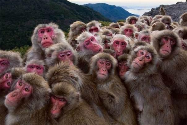 сотая обезьяна картинка