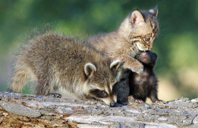 Совместимость енотов с другими животными