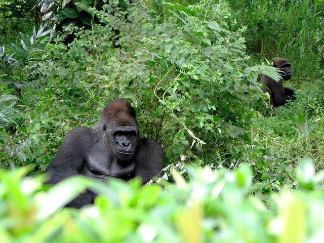 Стеснительная горилла