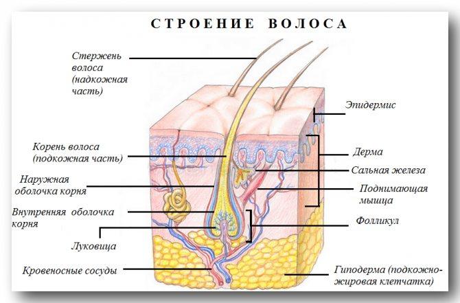 Строение волоса и действие непроизвольного мускула