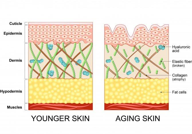 Структура кожи и коллагеновых волокон: молодая и возрастная кожа