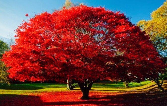 Свадьба красного дерева