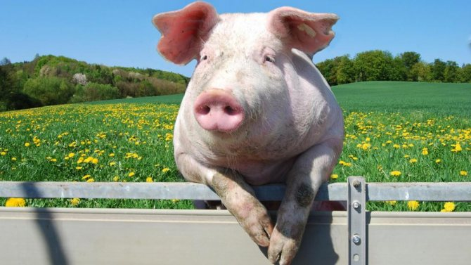 Свинья посреди большого поля